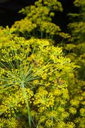 yellow umbrellas - inflorescence of dill - stock photo