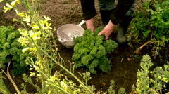 Picking Kale in the vegetable garden Stock Footage