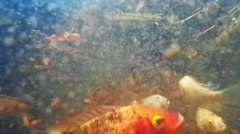 Fishes in pond hi speed motion Stock Footage