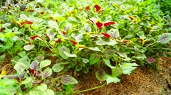 The growth of amaranth in vegetable fields Stock Footage