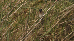 Dark -capped Bul-Bul sitting on a reed Stock Footage