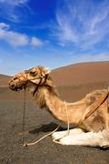 Camel in Lanzarote in timanfaya fire mountains - stock photo