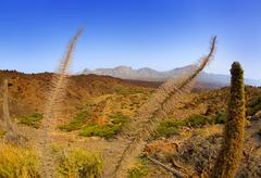 Echium wildpretii Red Tanajiste Rojo in Teide Tenerife - stock photo
