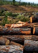 pine tree felled for timber industry in Tenerife - stock photo