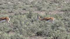Springbok (in the Namibian Savannah) Stock Footage