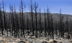 Black ashes of canary pine after forest fire at Teide - stock photo