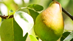 Ripe pear hangs on a tree in the garden - stock footage