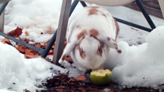 Lop Rabbit Eating an Apple in the Snow Stock Footage