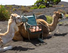 Camels in San antonio Volcano of La Palma Kuvituskuvat