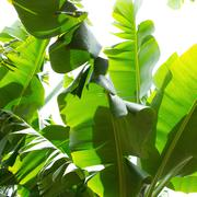 Canarian Banana plantation Platano in La Palma - stock photo