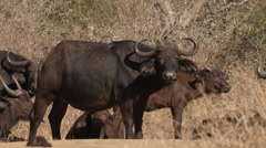A herd of Buffalo standing with one eating Stock Footage