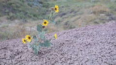 Annual Sunflower growing in cracked, rock-like soil. Stock Footage