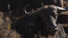 A Buffalo standing with two Red-billed Ox peckers on its back Stock Footage