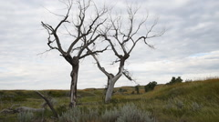 Stock Video Footage of Dead Cottonwood Trees in the Prairie