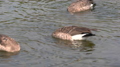 Canadian Geese dive for food Stock Footage