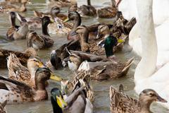 Ringed Teal Duck and Gooses in Lake. - stock photo