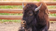 Bison  resting in the zoo Stock Footage