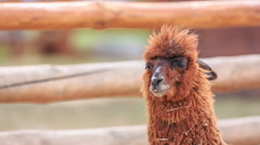 Alpaca after a hearty lunch at the zoo Stock Footage