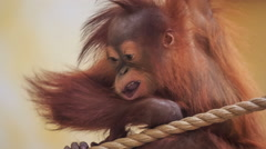 Young monkey playing with a rope at the zoo Stock Footage