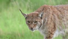Adult Lynx walking behind trees right to left Stock Footage