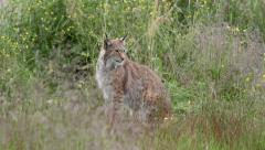 Adult Lynx sitting in high grass watching alerted Stock Footage