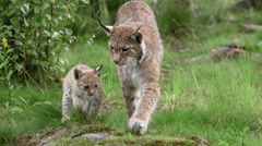 Lynx with cub with mother in forest walking into camera - stock footage