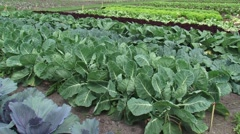 Brassica oleracea varieties in kaleyard + butterfly - stock footage