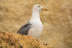 Seagull on a rock watching - stock photo