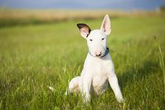 Bull terrier puppy playing in the grass - stock photo