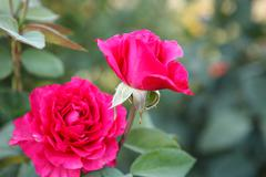 shrub roses shallow depth of field - stock photo