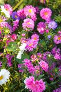 blooming asters in flowerbed shallow depth of field - stock photo