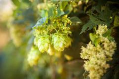 hop cones on a stalk shallow depth of field - stock photo