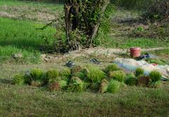 Freshly Harvested Green Rice Bundles - stock photo