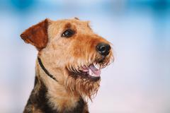 Beautiful Brown Airedale Terriers Dog Stock Photos