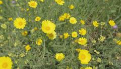 Yellow Chrysanthemums in the field - stock footage