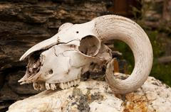 White goats skull with curly horns - stock photo