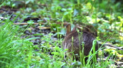 Wild rabbit browses, eats Stock Footage