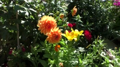Decorative dahlias in the garden Stock Footage