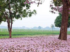 Pink trumpet tree - stock photo
