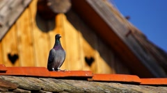 Pidgeon on the roof Stock Footage