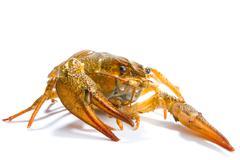 Crayfish isolated - stock photo