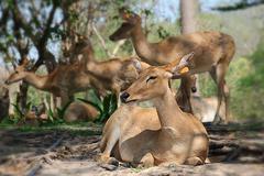 barking deer, wildlife preservation in safari, Thailand - stock photo