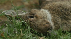 Dead rabbit head in grass - stock footage