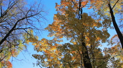 Maple, forest, October sunny day Stock Footage