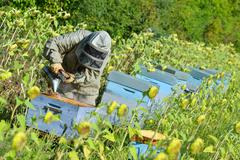 Bee Keeper Working with Bee Hives in a sunflower field. - stock photo