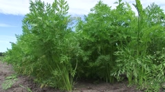 Rows of carrot plants growing in sandy soil - low angle Stock Footage