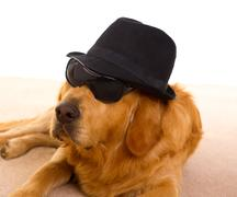 Dog as mafia gangster with black hat and sunglasses - stock photo