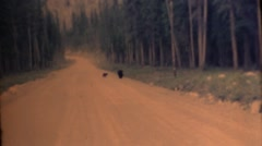 Canadian Rocky Mountains ,1951, black bear in road Stock Footage