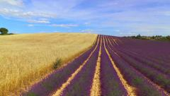 AERIAL: Stunning big fields of purple lavender and yellow wheat - stock footage
