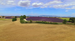 AERIAL: Beautiful big fields of golden wheat and purple lavender - stock footage